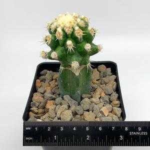 Grafted Monstrose Echinocactus grusonii