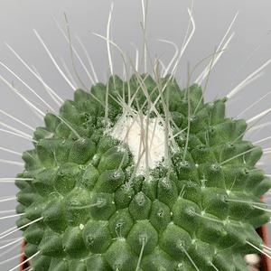 Mammillaria spinosissima monstrose