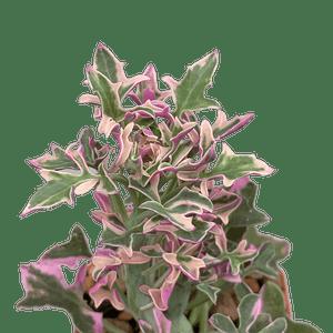 Senecio articulatus variegata tricolor