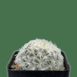 Mammillaria plumosa 'Feather Cactus'
