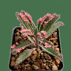 Kalanchoe 'Pink Butterflies'