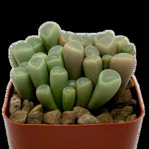 "Fenestraria aurantiaca ""Baby Toes"""