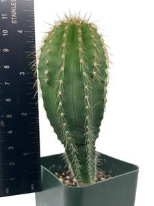 Neobuxbaumia polyopha