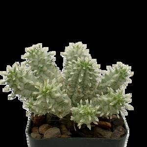 Euphorbia mammillaris white variegated