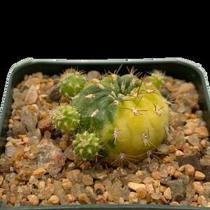 Echinopsis calochlora