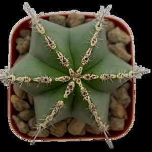 Lemaireocereus marginatus