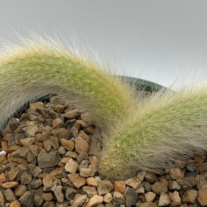 Cleistocactus winteri subs. colademononis (Monkey's Tail)