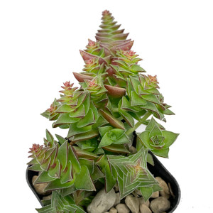 "Crassula capitella ssp thyrsiflora ""Red Pagoda"""