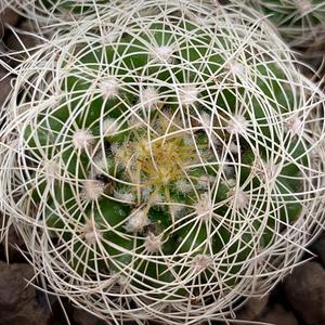 Discocactus araneispinus