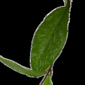 Hoya publicalyx splash