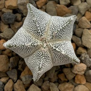 Astrophytum myriostigma 'Onzuka' 5-sided