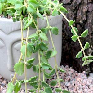 Plectranthus prostratus