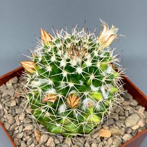 Mammillaria nejapensis variegata