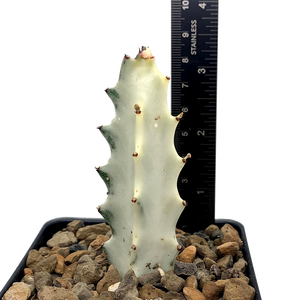 Euphorbia lactea 'White Ghost' [Small]