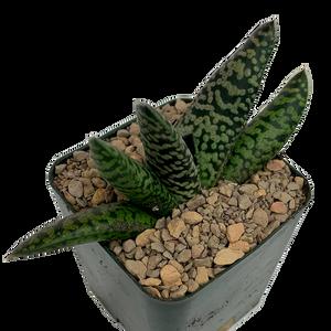 "Gasteria maculata ""Nova"""