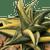 Haworthiopsis limifolia variegata