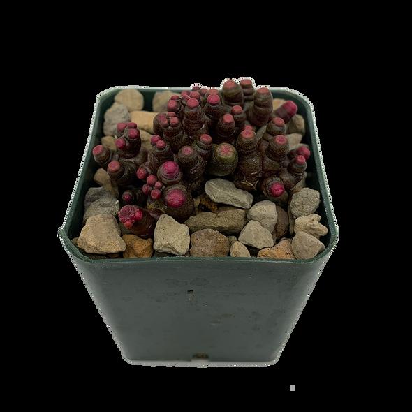 Echinopsis 'Chocolate'