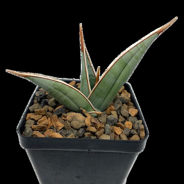 "Sanseveria pinguicula ""walking sanseveria"""