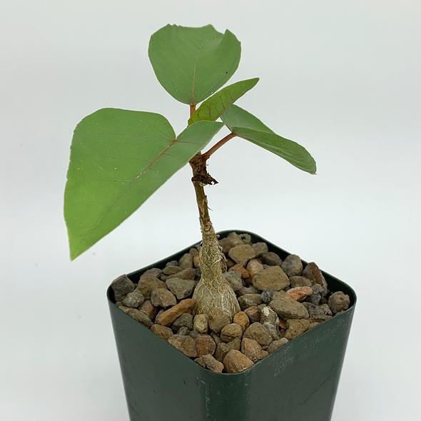 Ficus palmeri [Small]