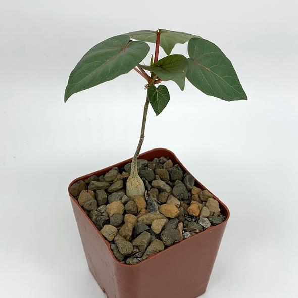 Ficus petiolaris [Small]