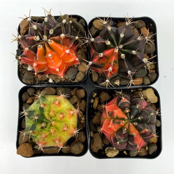 Gymnocalycium variegata hybrid