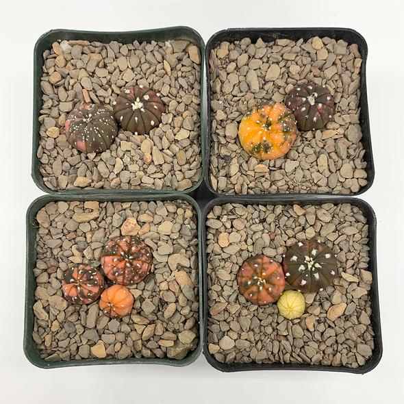 Astrophytum asterias variegata individual