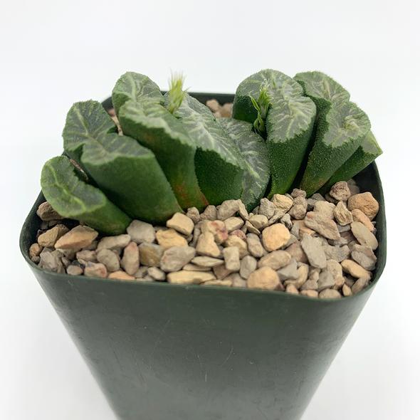 Haworthia truncata hybrid #43