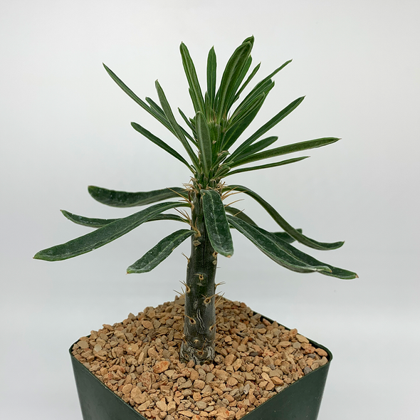 Pachypodium succulentum for sale at East Austin Succulents