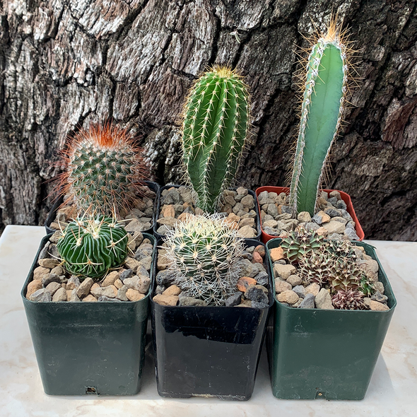 """""""Leave Britney Alone"""" Cactus 6-Pack for sale at East Austin Succulents"""