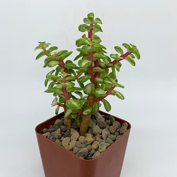 "Portulacaria afra reverse variegated ""Rainbow Elephant Bush"" [Large] for sale at East Austin Succulents"