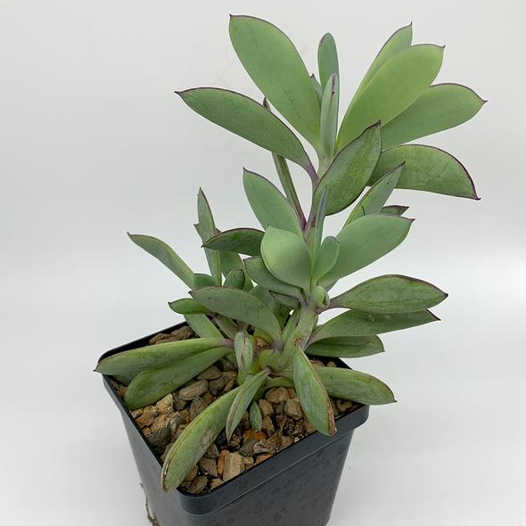 Senecio crassissimus for sale at East Austin Succulents
