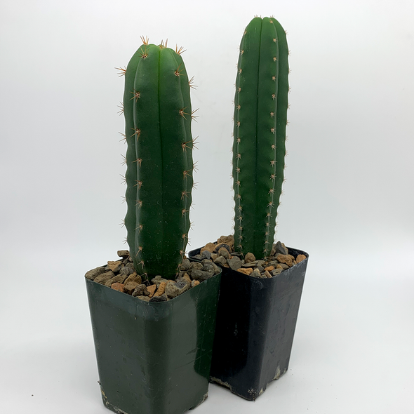 Trichocereus Mystery Twin Pack [Medium] for sale at East Austin Succulents