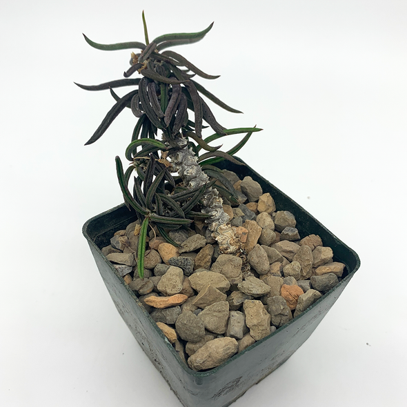 Euphorbia cylindrifolia East Austin Succulent