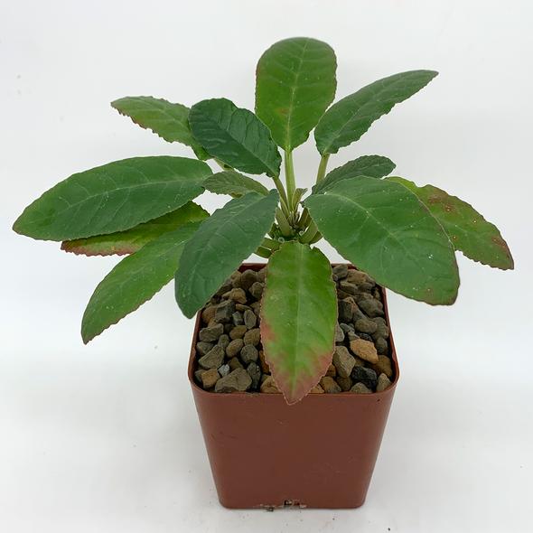 Dorstenia hybrid for sale at East Austin Succulents