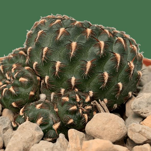 Sulcorebutia heinzii