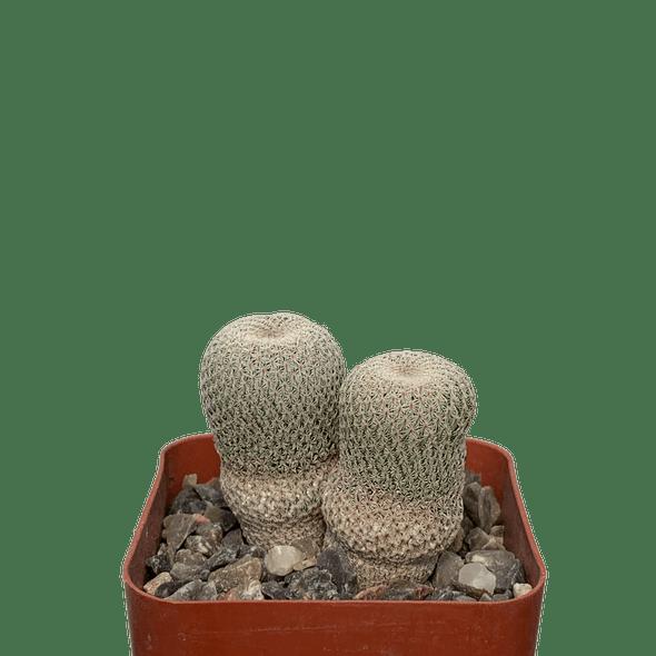 Epithelantha micromeris [small]
