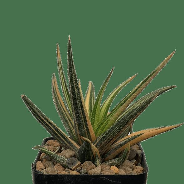 Haworthiopsis attenuata radula