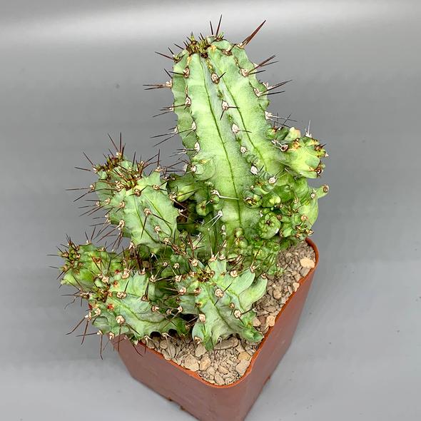 Euphorbia fruticosa monstrose
