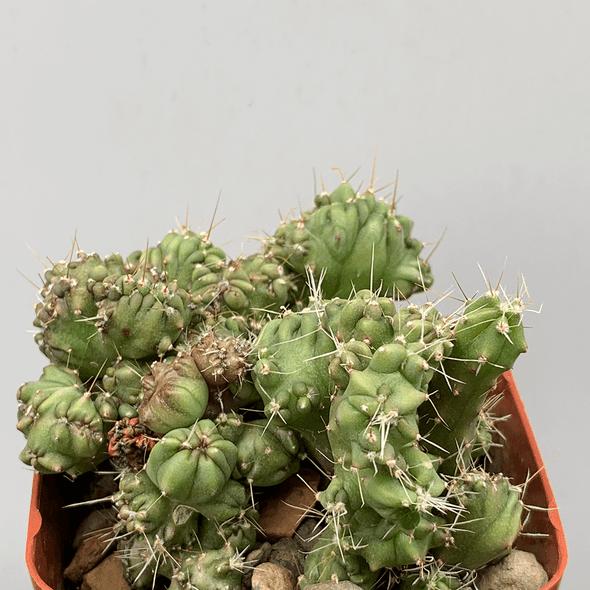 Myrtillocactus 'Elite' cristata 'Extreme Monstrose'