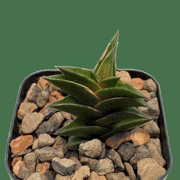 Haworthia viscosa variegata