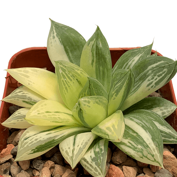 Haworthia cuspidata variegata