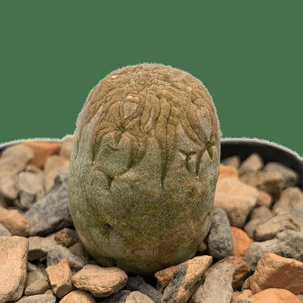 Pseudolithos migiurtinus