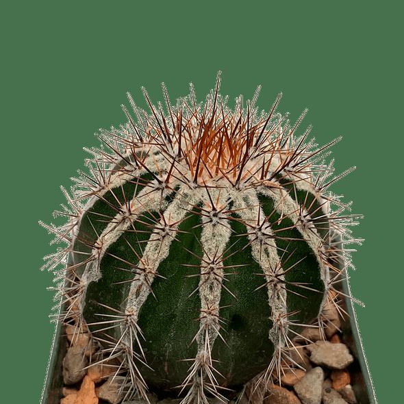 Echinopsis Haku-jo Maru
