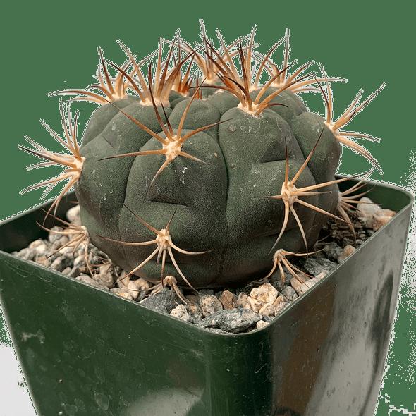 Gymnocalycium pflanzii var. albipulpa