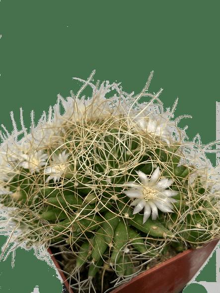 Mammillaria camptotricha