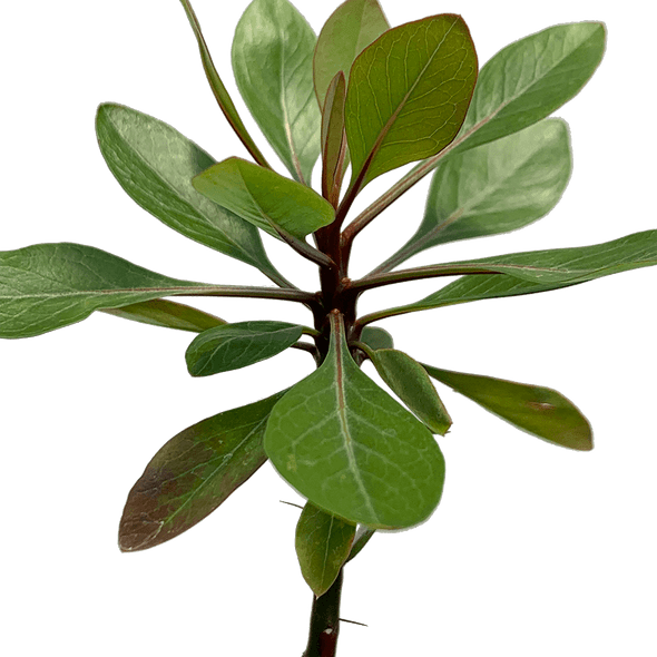 Fouquieria fasciculata ''Barrel Tree''