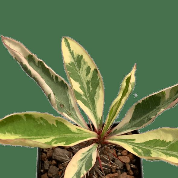 Euphorbia milii 'Fireworks' [small]