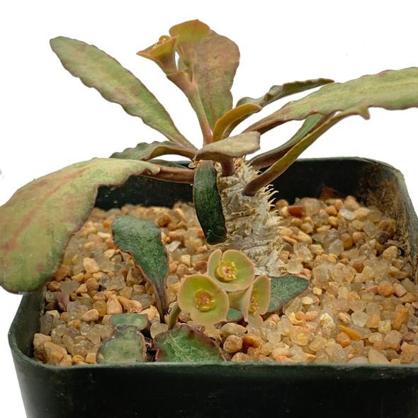 Euphorbia francosi