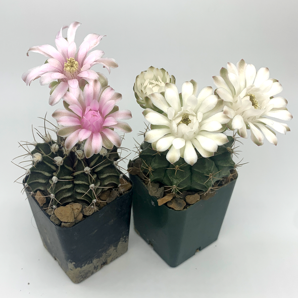 Gymnocalycium hybrid bloom East Austin Succulents