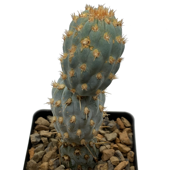 Cylindropuntia miquelii